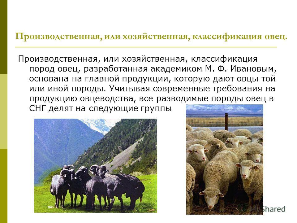 Производственная, или хозяйственная, классификация пород овец, разработанная академиком М. Ф. Ивановым, основана на главной продукции, которую дают овцы той или иной породы. Учитывая современные требования на продукцию овцеводства, все разводимые пор