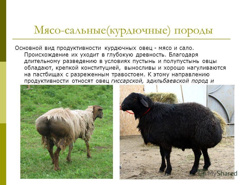 Мясо-сальные(курдючные) породы Основной вид продуктивности курдючных овец - мясо и сало. Происхождение их уходит в глубокую древность. Благодаря длительному разведению в условиях пустынь и полупустынь овцы обладают, крепкой конституцией, выносливы и