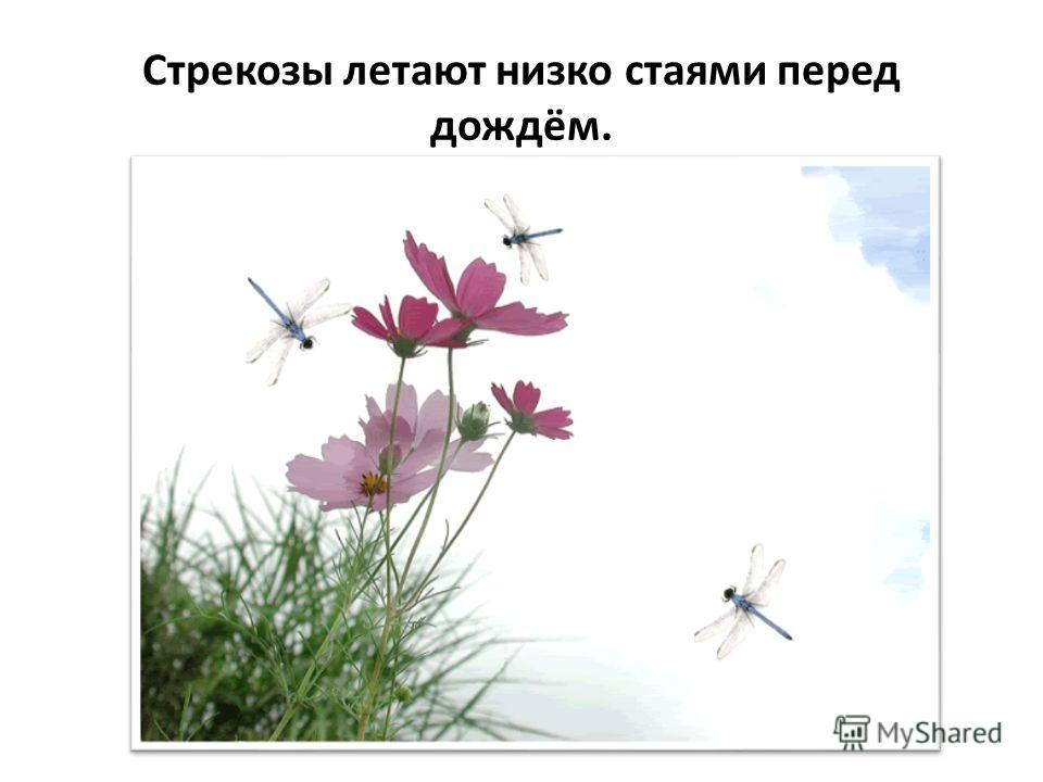Ласточки летают низко к земле – жди дождя.
