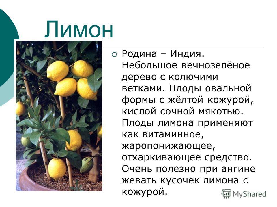 Лимон Родина – Индия. Небольшое вечнозелёное дерево с колючими ветками. Плоды овальной формы с жёлтой кожурой, кислой сочной мякотью. Плоды лимона применяют как витаминное, жаропонижающее, отхаркивающее средство. Очень полезно при ангине жевать кусоч
