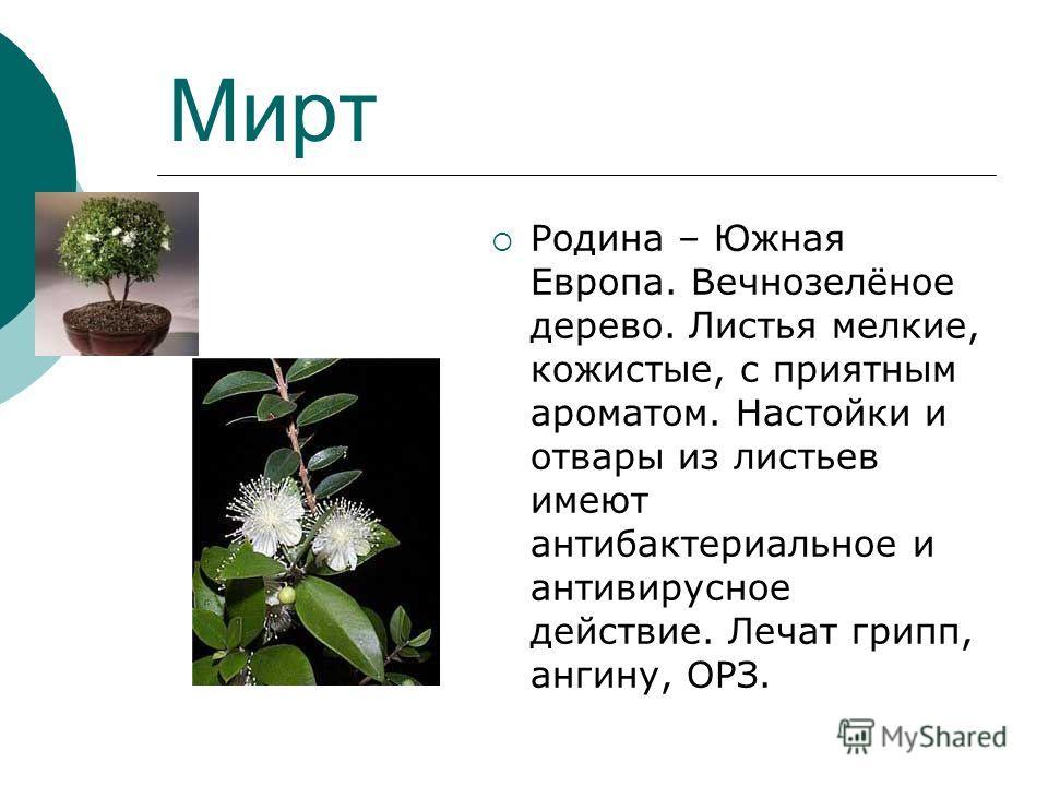 Мирт Родина – Южная Европа. Вечнозелёное дерево. Листья мелкие, кожистые, с приятным ароматом. Настойки и отвары из листьев имеют антибактериальное и антивирусное действие. Лечат грипп, ангину, ОРЗ.