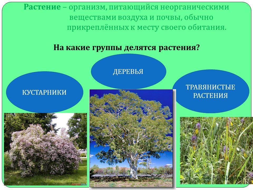 КУСТАРНИКИ Растение – организм, питающийся неорганическими веществами воздуха и почвы, обычно прикреплённых к месту своего обитания. На какие группы делятся растения ? ДЕРЕВЬЯ ТРАВЯНИСТЫЕ РАСТЕНИЯ