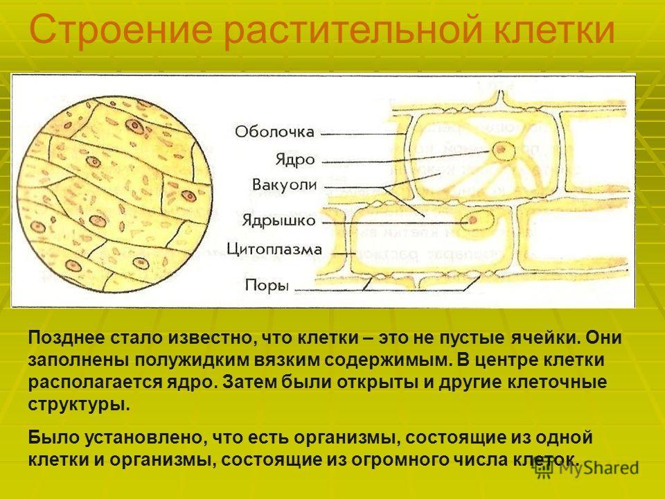 Строение растительной клетки Позднее стало известно, что клетки – это не пустые ячейки. Они заполнены полужидким вязким содержимым. В центре клетки располагается ядро. Затем были открыты и другие клеточные структуры. Было установлено, что есть органи