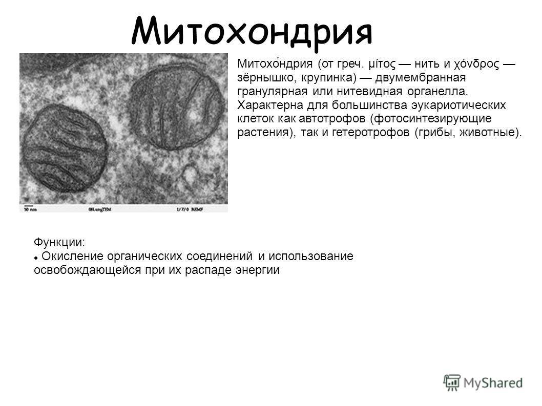 Митохондрия Митохо́ндрия (от греч. μίτος нить и χόνδρος зёрнышко, крупинка) двумембранная гранулярная или нитевидная органелла. Характерна для большинства эукариотических клеток как автотрофов (фотосинтезирующие растения), так и гетеротрофов (грибы,