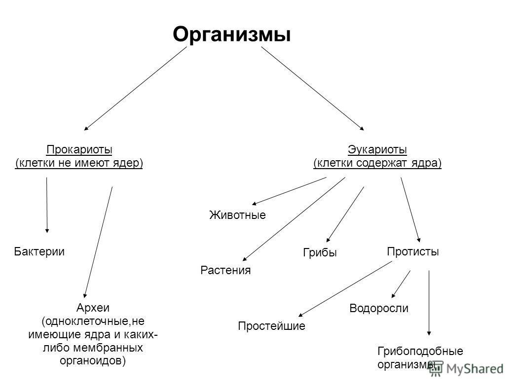 Организмы Прокариоты (клетки не имеют ядер) Эукариоты (клетки содержат ядра) Бактерии Животные Растения Грибы Протисты Простейшие Водоросли Грибоподобные организмы Археи (одноклеточные,не имеющие ядра и каких- либо мембранных органоидов)