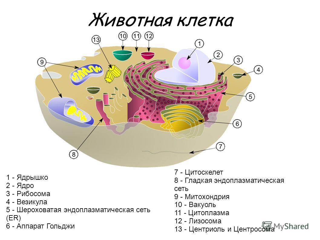 1 - Ядрышко 2 - Ядро 3 - Рибосома 4 - Везикула 5 - Шероховатая эндоплазматическая сеть (ER) 6 - Аппарат Гольджи 7 - Цитоскелет 8 - Гладкая эндоплазматическая сеть 9 - Митохондрия 10 - Вакуоль 11 - Цитоплазма 12 - Лизосома 13 - Центриоль и Центросома