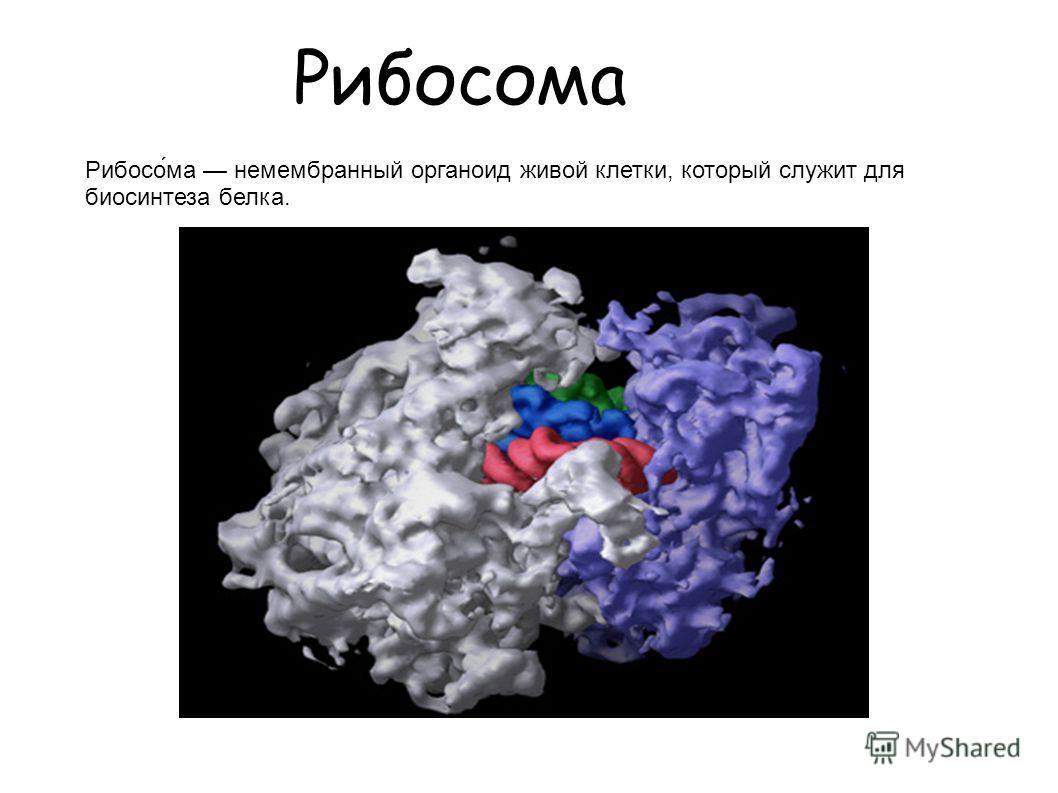 Рибосома Рибосо́ма немембранный органоид живой клетки, который служит для биосинтеза белка.