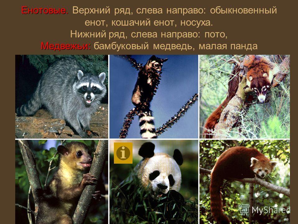 Енотовые. Медвежьи: Енотовые. Верхний ряд, слева направо: обыкновенный енот, кошачий енот, носуха. Нижний ряд, слева направо: пото, Медвежьи: бамбуковый медведь, малая панда