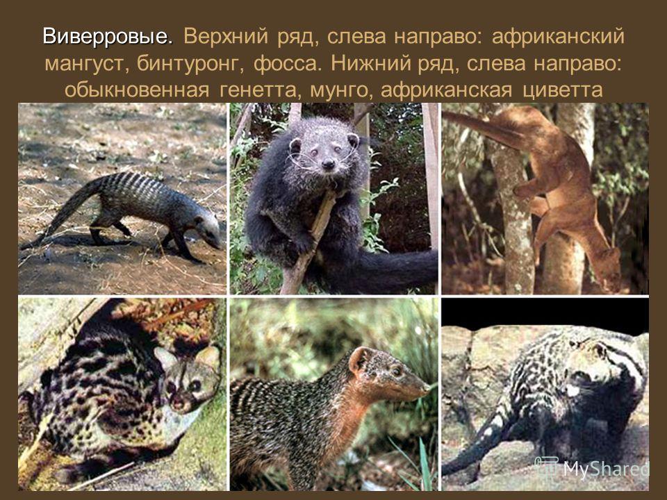 Виверровые. Виверровые. Верхний ряд, слева направо: африканский мангуст, бинтуронг, фосса. Нижний ряд, слева направо: обыкновенная генетта, мунго, африканская циветта