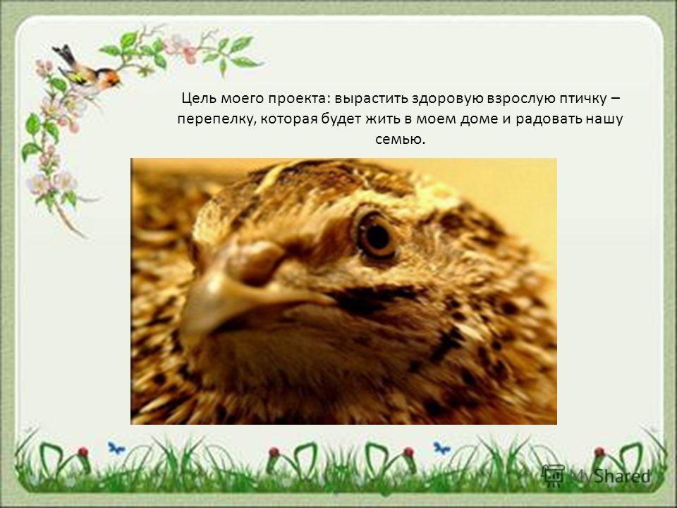 Цель моего проекта: вырастить здоровую взрослую птичку – перепелку, которая будет жить в моем доме и радовать нашу семью.