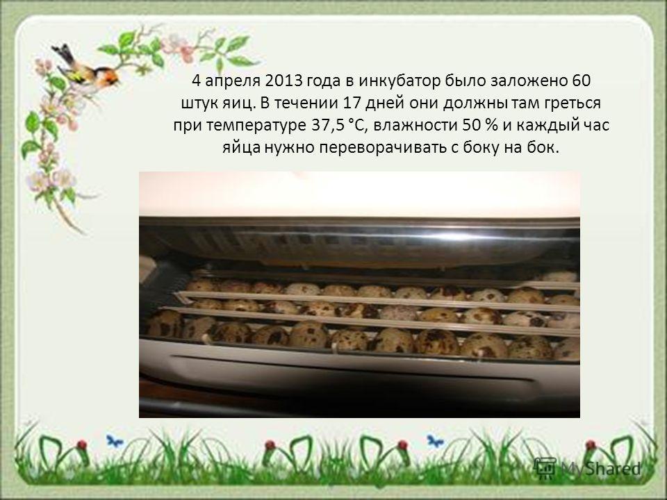 4 апреля 2013 года в инкубатор было заложено 60 штук яиц. В течении 17 дней они должны там греться при температуре 37,5 °С, влажности 50 % и каждый час яйца нужно переворачивать с боку на бок.