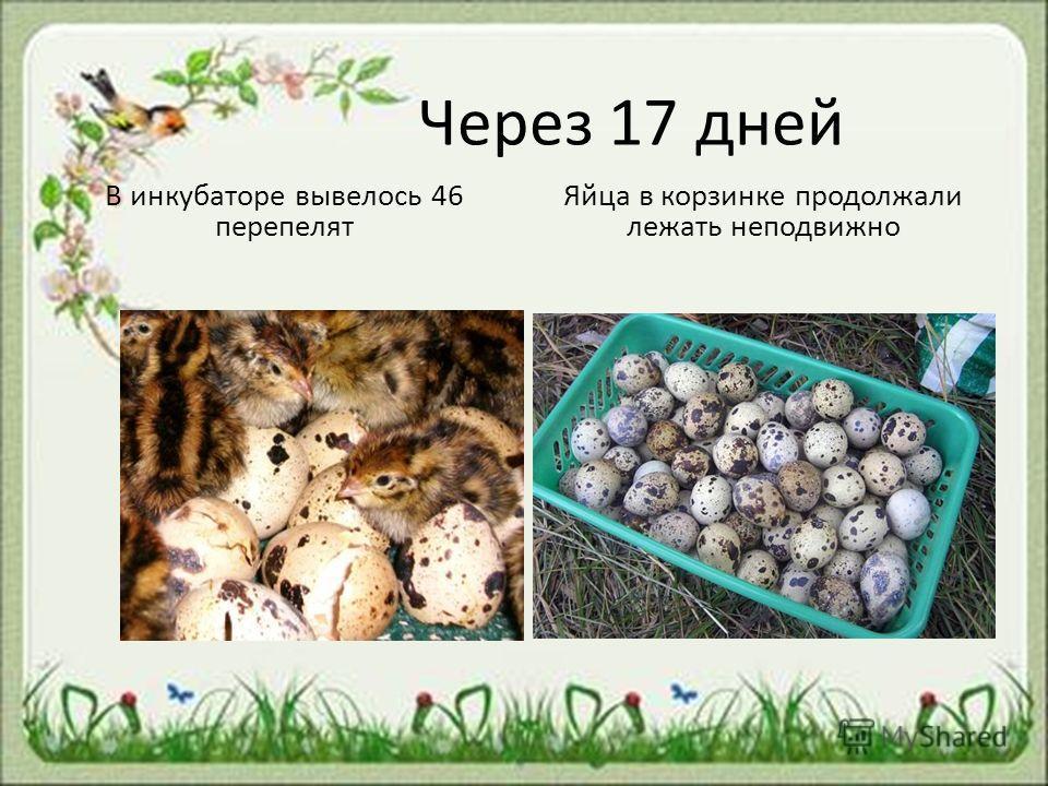 Через 17 дней В инкубаторе вывелось 46 перепелят Яйца в корзинке продолжали лежать неподвижно