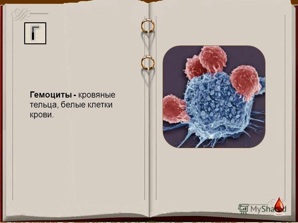 Гемоциты - кровяные тельца, белые клетки крови.