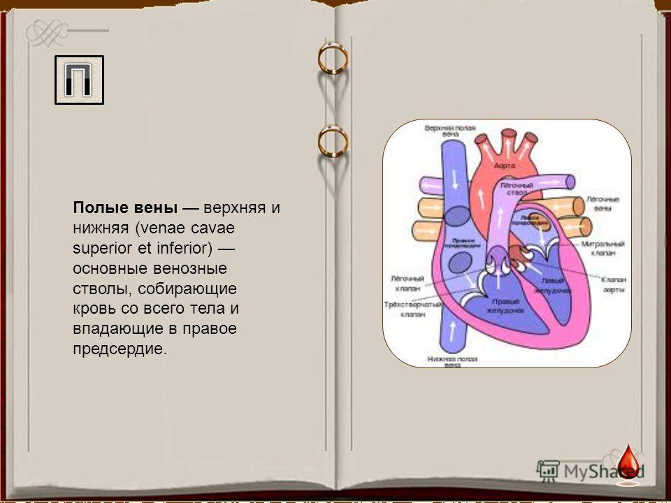 Полые вены верхняя и нижняя (venae cavae superior et inferior) основные венозные стволы, собирающие кровь со всего тела и впадающие в правое предсердие.