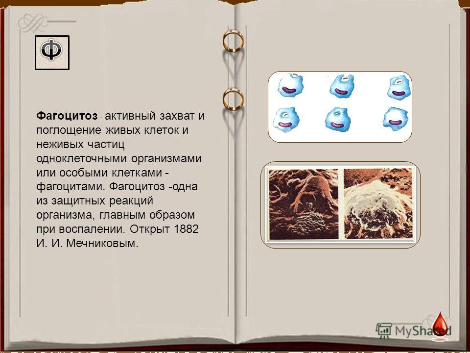 Фагоцитоз - активный захват и поглощение живых клеток и неживых частиц одноклеточными организмами или особыми клетками - фагоцитами. Фагоцитоз -одна из защитных реакций организма, главным образом при воспалении. Открыт 1882 И. И. Мечниковым.