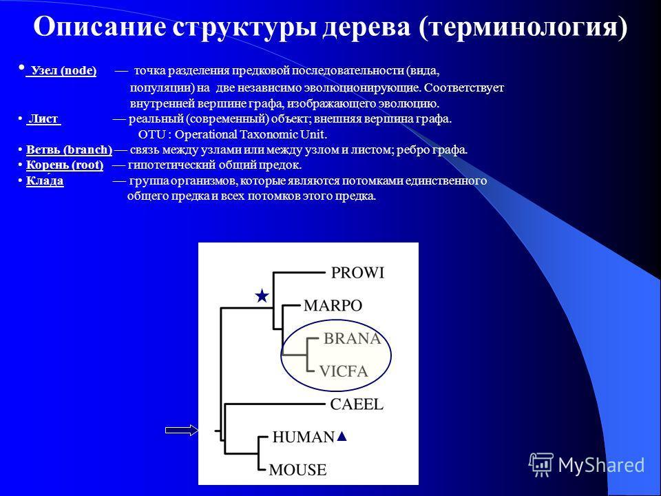Описание структуры дерева (терминология) Узел (node) точка разделения предковой последовательности (вида, популяции) на две независимо эволюционирующие. Соответствует внутренней вершине графа, изображающего эволюцию. Лист реальный (современный) объек