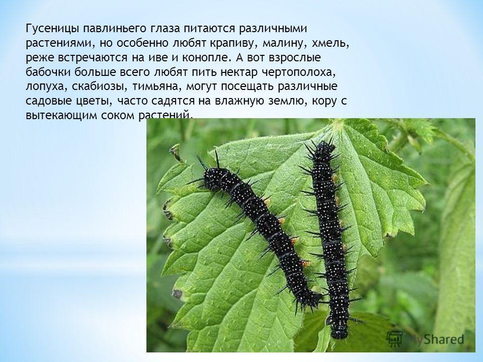 Гусеницы павлиньего глаза питаются различными растениями, но особенно любят крапиву, малину, хмель, реже встречаются на иве и конопле. А вот взрослые бабочки больше всего любят пить нектар чертополоха, лопуха, скабиозы, тимьяна, могут посещать различ