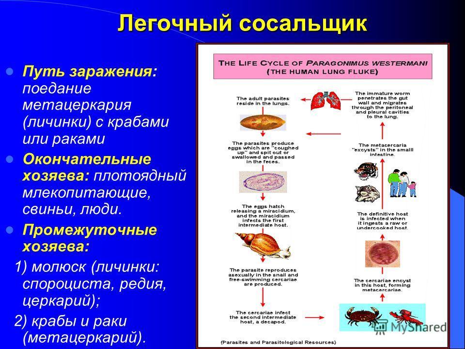 Легочный сосальщик Путь заражения: поедание метацеркария (личинки) с крабами или раками Окончательные хозяева: плотоядный млекопитающие, свиньи, люди. Промежуточные хозяева: 1) молюск (личинки: спороциста, редия, церкарий); 2) крабы и раки (метацерка