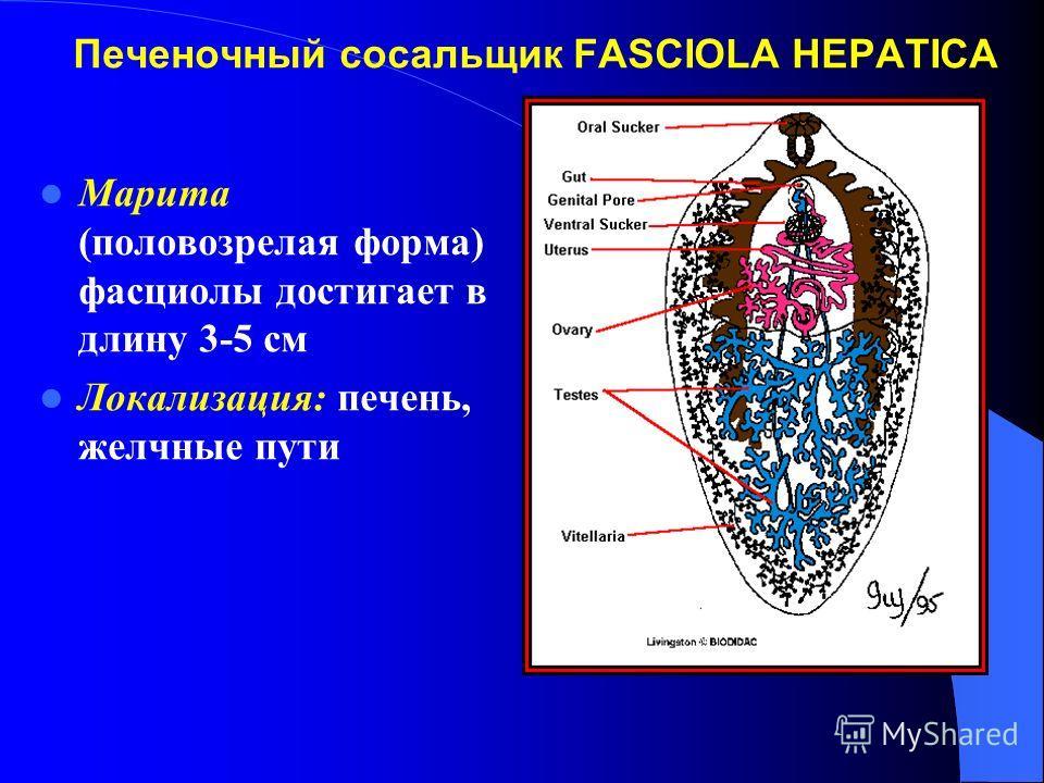 Печеночный сосальщик FASCIOLA HEPATICA Марита (половозрелая форма) фасциолы достигает в длину 3-5 см Локализация: печень, желчные пути