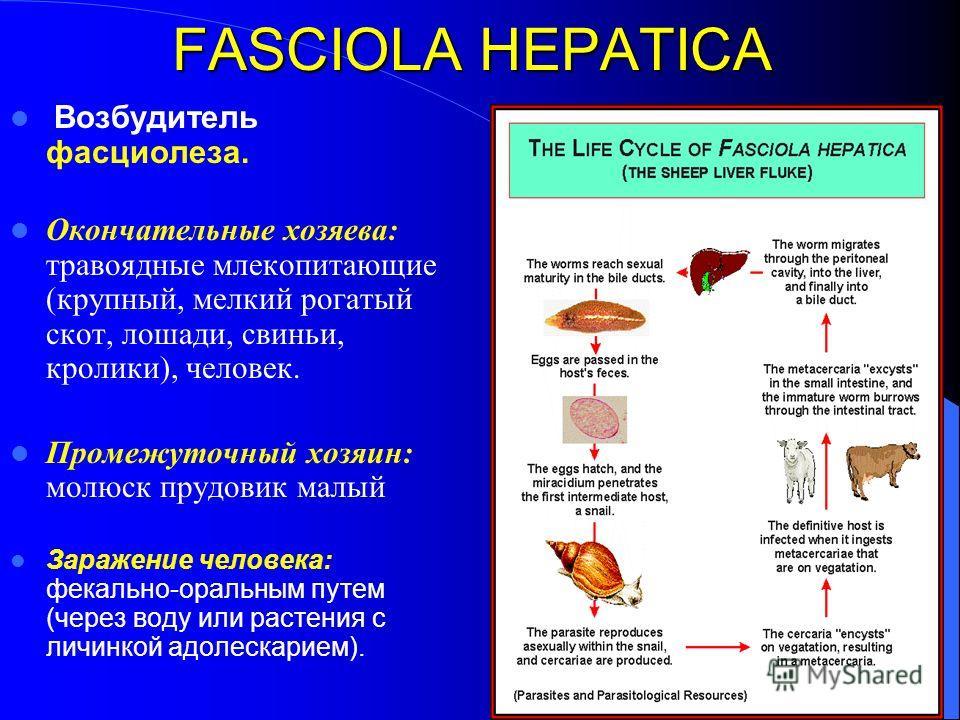 FASCIOLA HEPATICA Возбудитель фасциолеза. Окончательные хозяева: травоядные млекопитающие (крупный, мелкий рогатый скот, лошади, свиньи, кролики), человек. Промежуточный хозяин: молюск прудовик малый Заражение человека: фекально-оральным путем (через