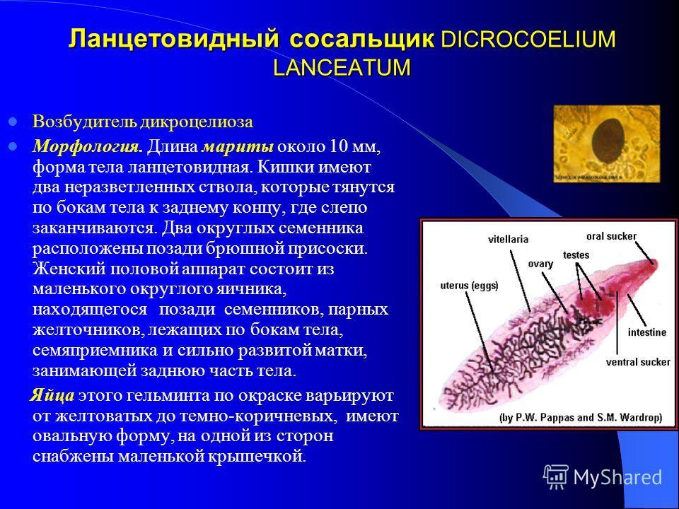 Ланцетовидный сосальщик DICROCOELIUM LANCEATUM Возбудитель дикроцелиоза Морфология. Длина мариты около 10 мм, форма тела ланцетовидная. Кишки имеют два неразветленных ствола, которые тянутся по бокам тела к заднему концу, где слепо заканчиваются. Два