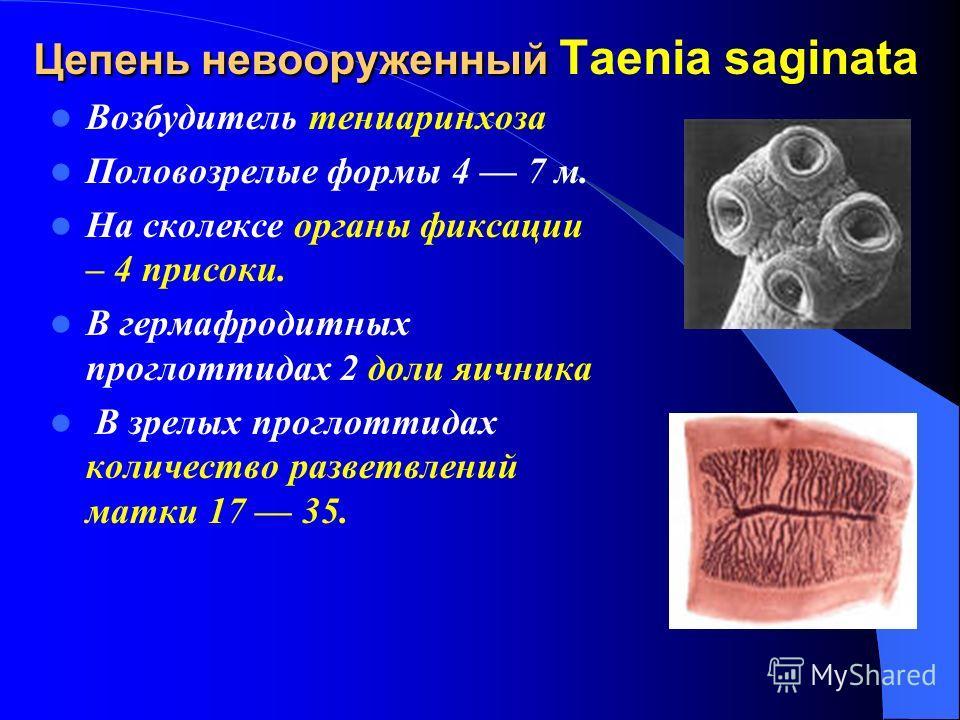 Цепень невооруженный Цепень невооруженный Taenia saginata Возбудитель тениаринхоза Половозрелые формы 4 7 м. На сколексе органы фиксации – 4 присоки. В гермафродитных проглоттидах 2 доли яичника В зрелых проглоттидах количество разветвлений матки 17
