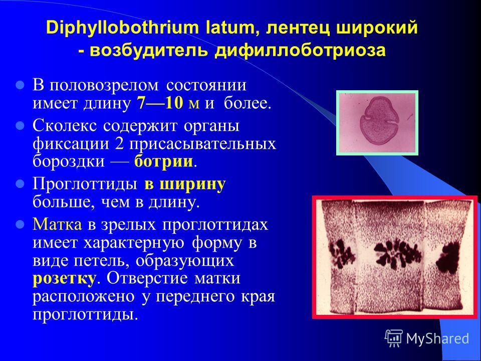 Diphyllobothrium latum, лентец широкий - возбудитель дифиллоботриоза В половозрелом состоянии имеет длину 710 м и более. Сколекс содержит органы фиксации 2 присасывательных бороздки ботрии. Проглоттиды в ширину больше, чем в длину. Матка в зрелых про