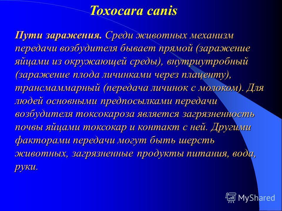 Toxocara canis Пути заражения. Среди животных механизм передачи возбудителя бывает прямой (заражение яйцами из окружающей среды), внутриутробный (заражение плода личинками через плаценту), трансмаммарный (передача личинок с молоком). Для людей основн