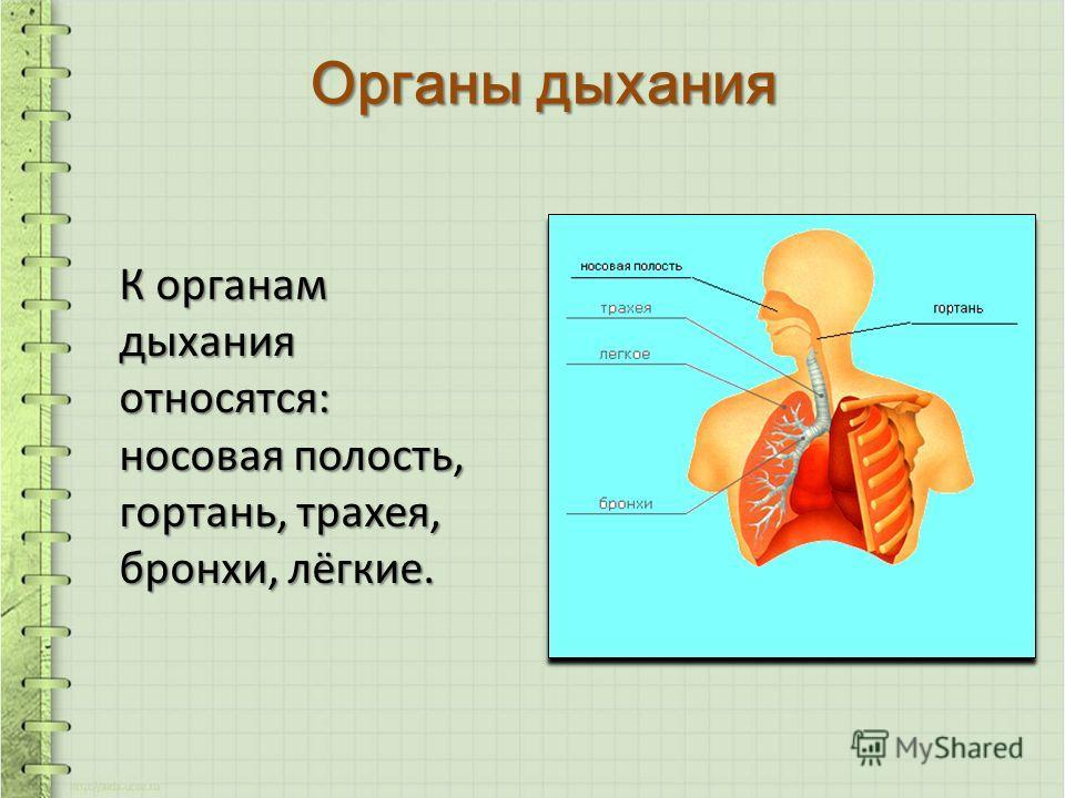 Органы дыхания К органам дыхания относятся: носовая полость, гортань, трахея, бронхи, лёгкие.