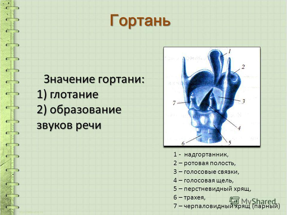 Гортань Значение гортани: 1) глотание 2) образование звуков речи 1 - надгортанник, 2 – ротовая полость, 3 – голосовые связки, 4 – голосовая щель, 5 – перстневидный хрящ, 6 – трахея, 7 – черпаловидный хрящ (парный)