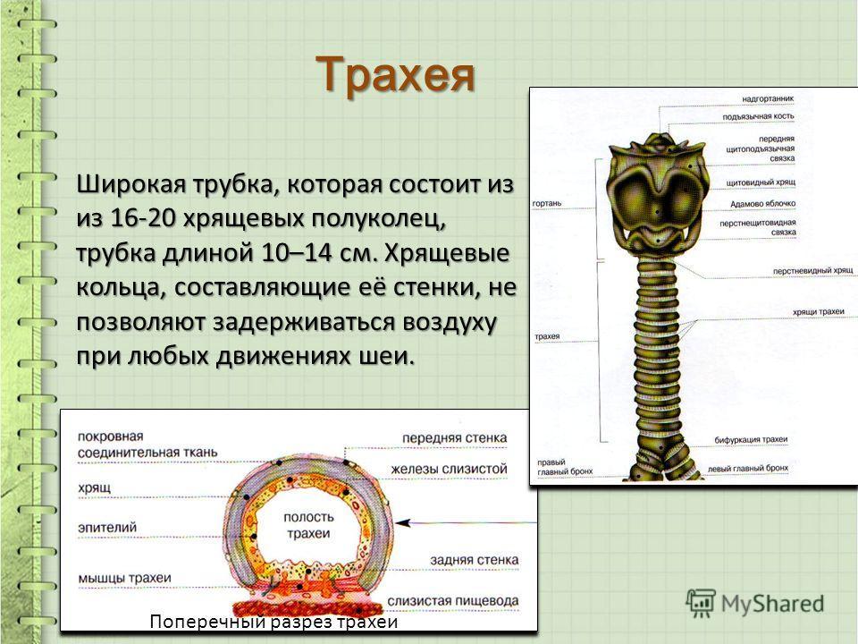 Трахея Широкая трубка, которая состоит из из 16-20 хрящевых полуколец, трубка длиной 10–14 см. Хрящевые кольца, составляющие её стенки, не позволяют задерживаться воздуху при любых движениях шеи. Поперечный разрез трахеи