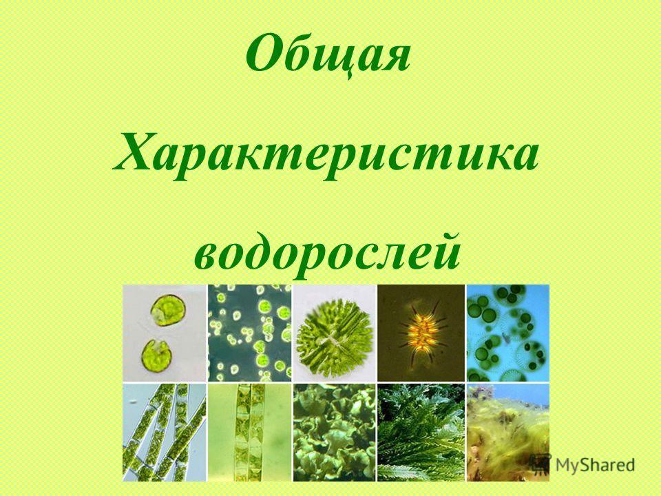 Общая Характеристика водорослей
