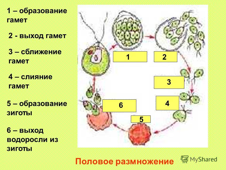 Половое размножение 12 3 4 5 6 1 – образование гамет 2 - выход гамет 3 – сближение гамет 4 – слияние гамет 5 – образование зиготы 6 – выход водоросли из зиготы