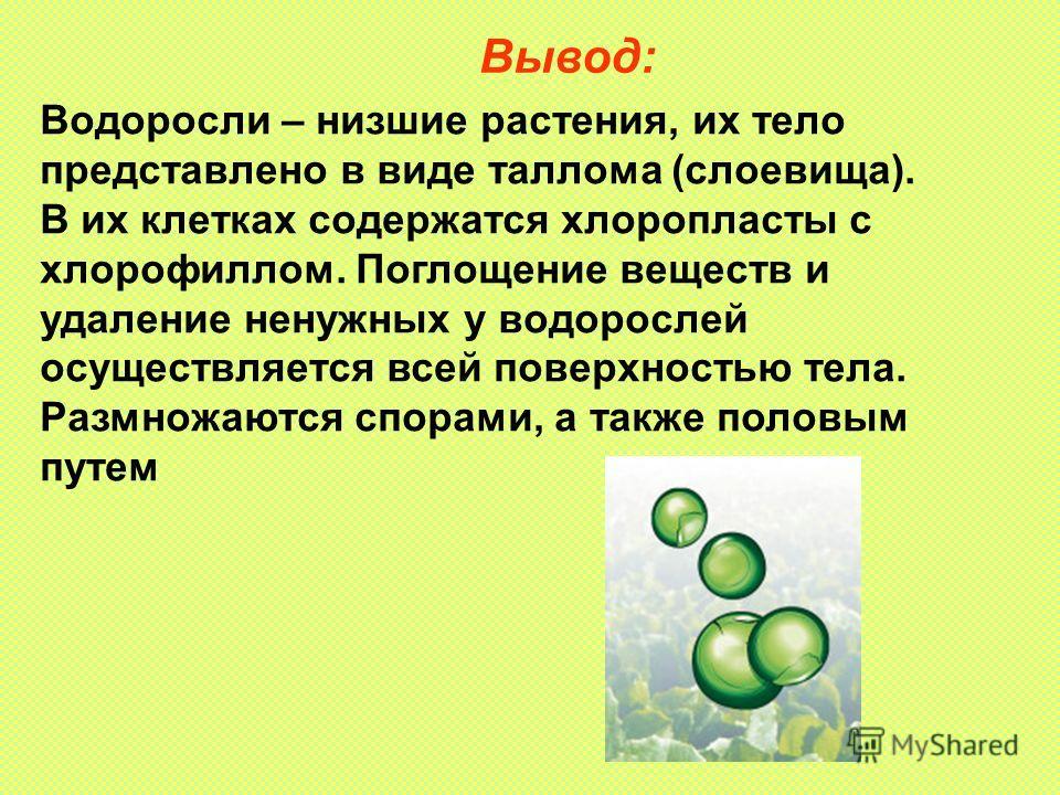 Вывод: Водоросли – низшие растения, их тело представлено в виде таллома (слоевища). В их клетках содержатся хлоропласты с хлорофиллом. Поглощение веществ и удаление ненужных у водорослей осуществляется всей поверхностью тела. Размножаются спорами, а
