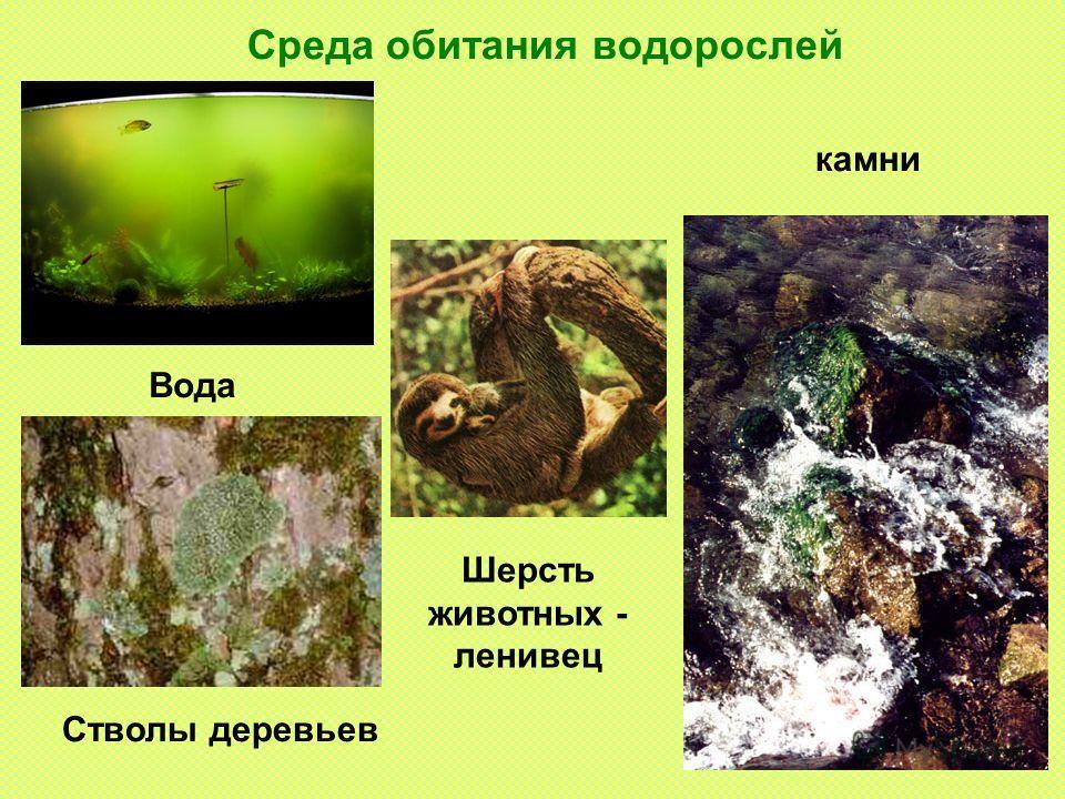 Среда обитания водорослей Вода Стволы деревьев Шерсть животных - ленивец камни