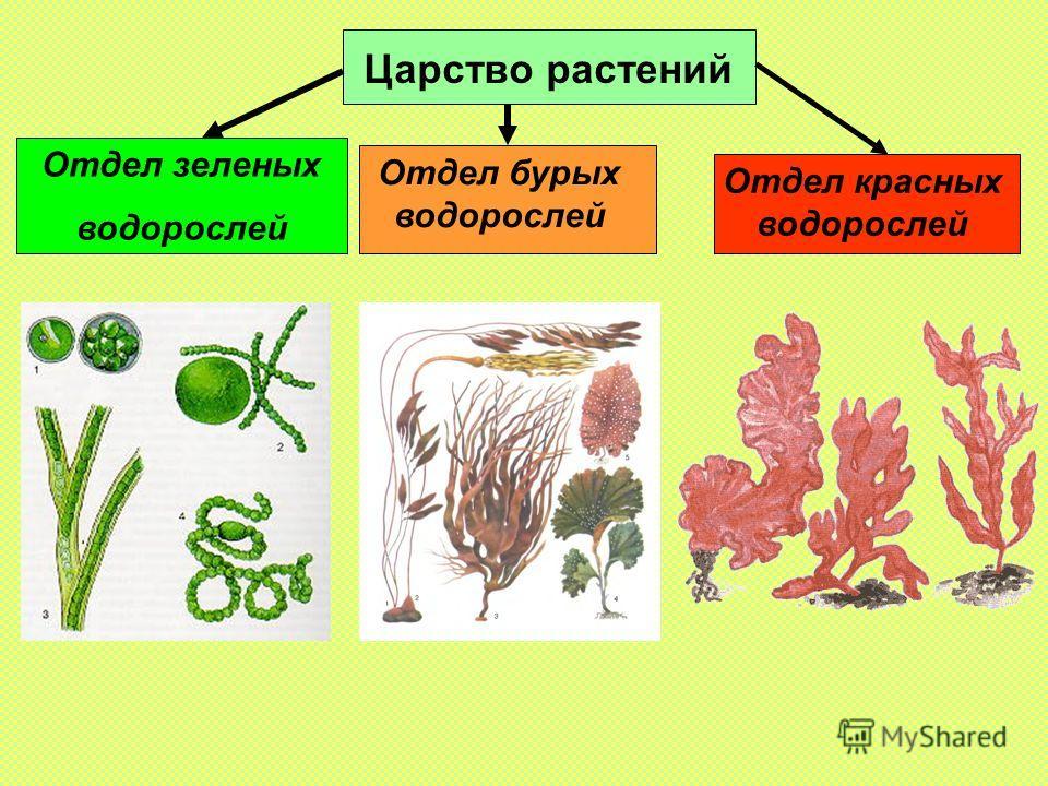 Отдел зеленых водорослей Царство растений Отдел бурых водорослей Отдел красных водорослей