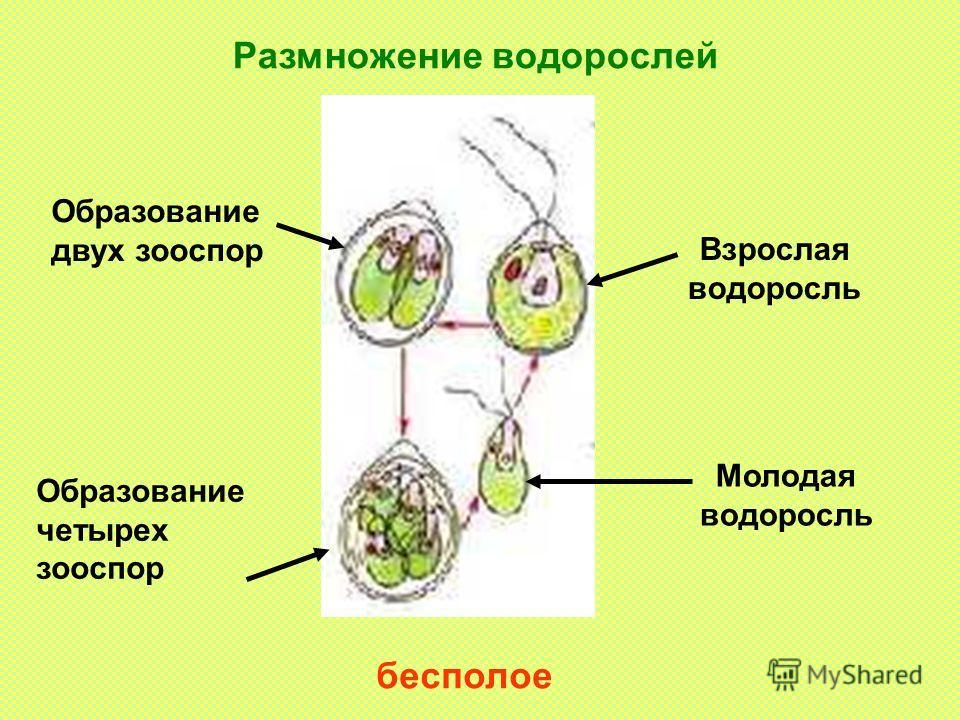 Размножение водорослей бесполое Взрослая водоросль Молодая водоросль Образование двух зооспор Образование четырех зооспор