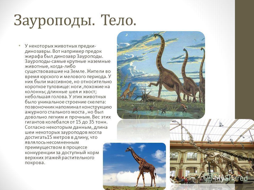Зауроподы. Тело. У некоторых животных предки- динозавры. Вот например предок жирафа был динозавр Зауроподы. Зауроподы-самые крупные наземные животные, когда-либо существовавшие на Земле. Жители во время юрского и мелового периода. У них были массивно