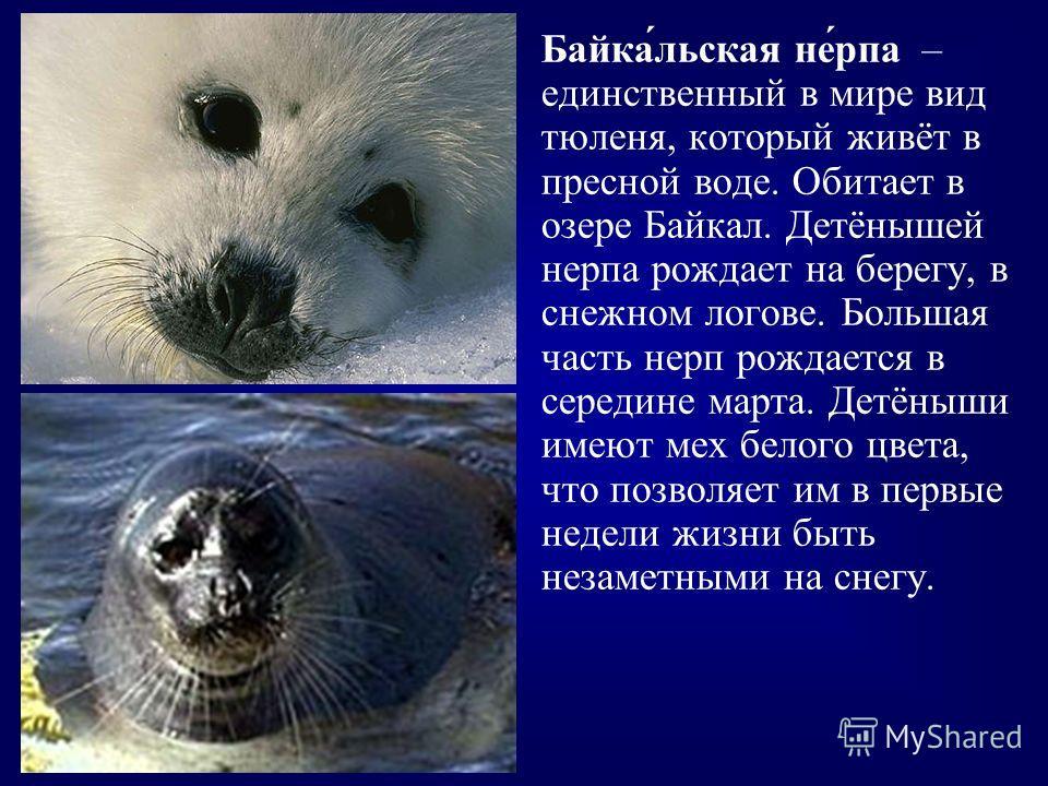 Байка́льская не́рпа – единственный в мире вид тюленя, который живёт в пресной воде. Обитает в озере Байкал. Детёнышей нерпа рождает на берегу, в снежном логове. Большая часть нерп рождается в середине марта. Детёныши имеют мех белого цвета, что позво