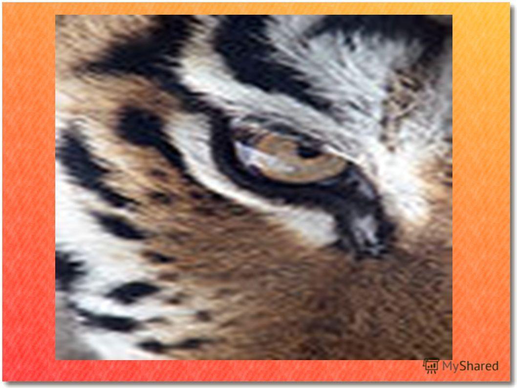 Книга Тигры в Снегу