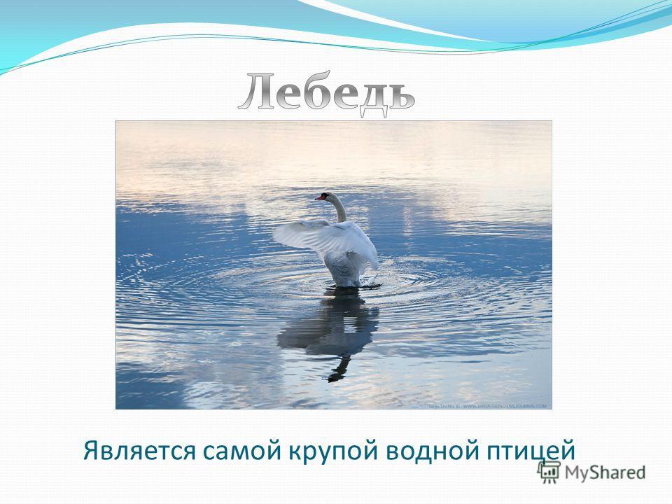 Является самой крупой водной птицей