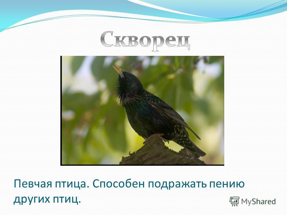 Певчая птица. Способен подражать пению других птиц.