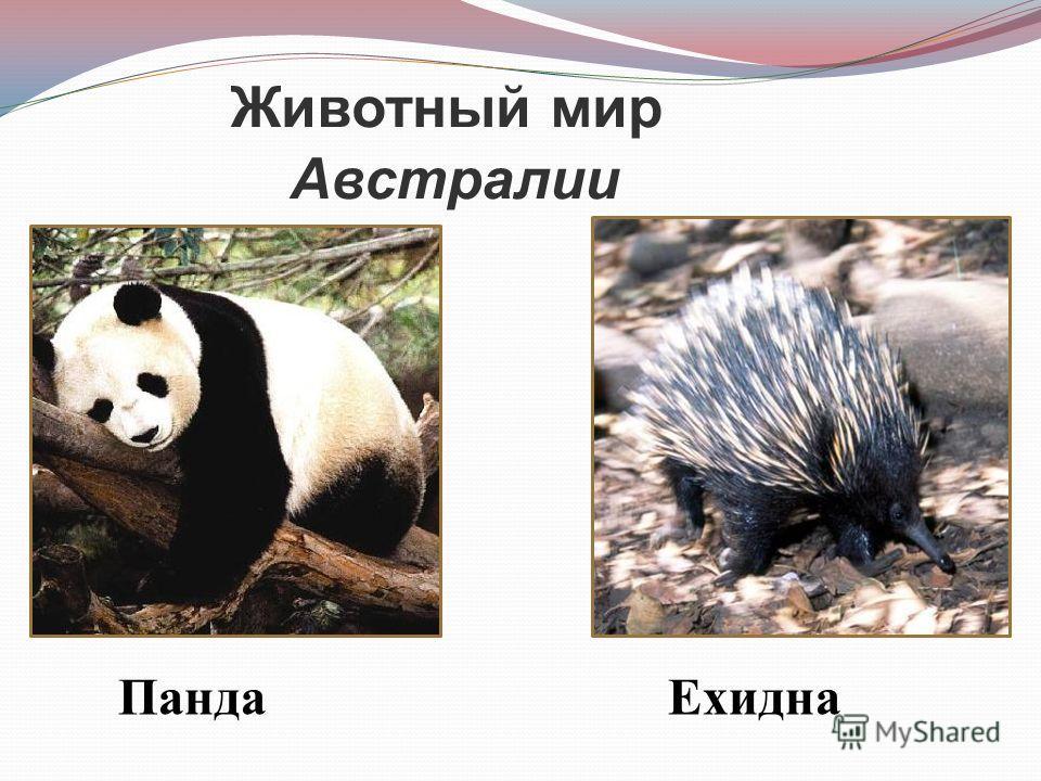 Животный мир Австралии Панда Ехидна