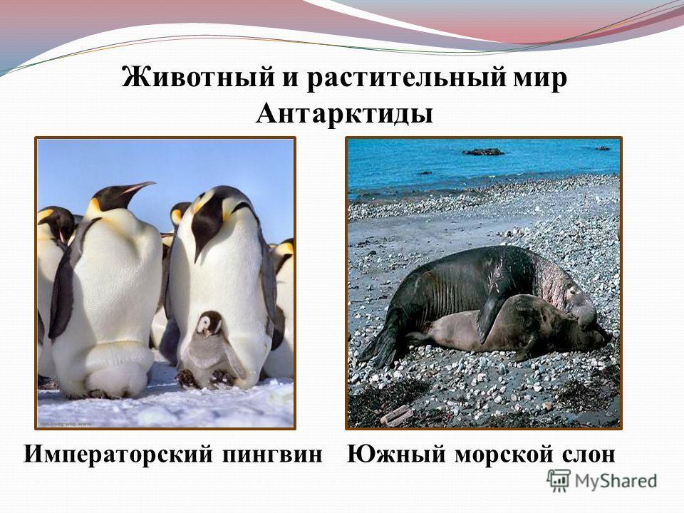 Животный и растительный мир Антарктиды Императорский пингвин Южный морской слон