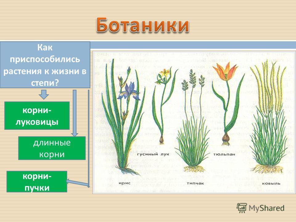 Как приспособились растения к жизни в степи ? корни - луковицы корни - пучки длинные корни