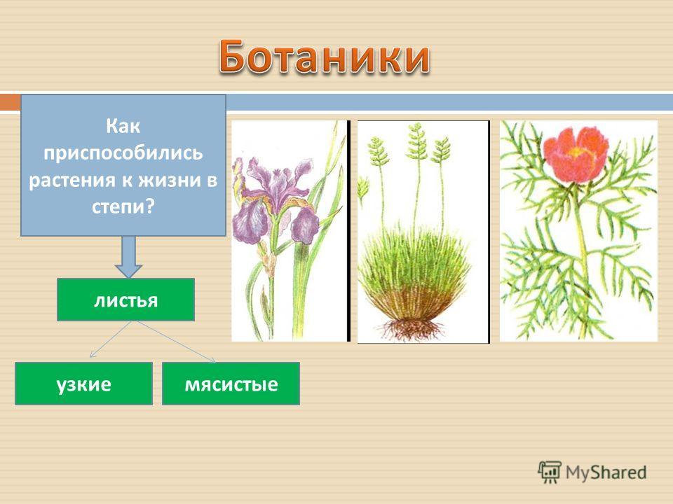 Как приспособились растения к жизни в степи ? листья узкиемясистые