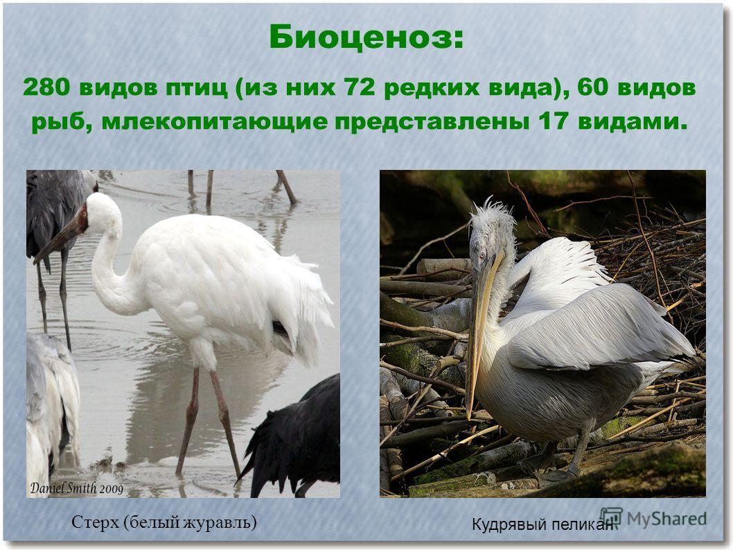 Биоценоз: 280 видов птиц (из них 72 редких вида), 60 видов рыб, млекопитающие представлены 17 видами. Стерх (белый журавль) Кудрявый пеликан