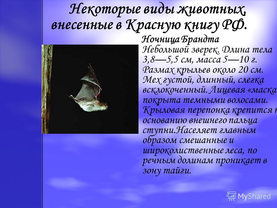 Некоторые виды животных, внесенные в Красную книгу РФ. Ночница Брандта Небольшой зверек. Длина тела 3,85,5 см, масса 510 г. Размах крыльев около 20 см. Мех густой, длинный, слегка всклокоченный. Лицевая «маска» покрыта темными волосами. Крыловая пере