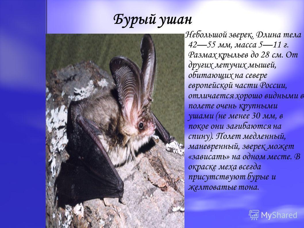 Бурый ушан Небольшой зверек. Длина тела 4255 мм, масса 511 г. Размах крыльев до 28 см. От других летучих мышей, обитающих на севере европейской части России, отличается хорошо видными в полете очень крупными ушами (не менее 30 мм, в покое они загибаю