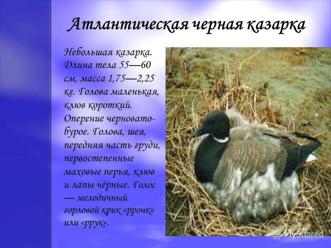 Атлантическая черная казарка Небольшая казарка. Длина тела 5560 см, масса 1,752,25 кг. Голова маленькая, клюв короткий. Оперение черновато- бурое. Голова, шея, передняя часть груди, первостепенные маховые перья, клюв и лапы чёрные. Голос мелодичный г